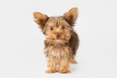 Perrito de Yorkshire Terrier que se coloca en el estudio que mira w inquisitivo Imagen de archivo