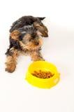 Perrito de Yorkshire Terrier que se sienta al lado de un cuenco de alimentación Imagenes de archivo