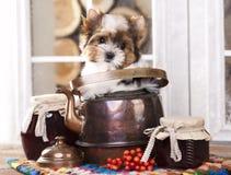 Perrito de Yorkshire Terrierin del castor en la caldera de cobre Fotografía de archivo