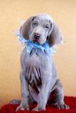 Perrito del azul de Weimaraner Imagen de archivo libre de regalías