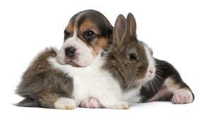 Perrito del beagle, 1 mes de viejo, y un conejo Imágenes de archivo libres de regalías