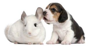 Perrito del beagle, 1 mes de viejo, y una chinchilla de Wilson Imagenes de archivo
