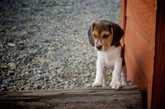 Perrito del beagle Imágenes de archivo libres de regalías