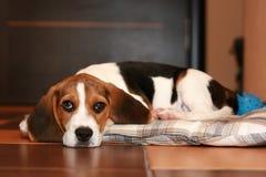 Perrito del beagle Fotografía de archivo libre de regalías