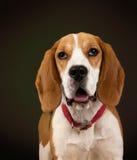 Perrito del beagle Foto de archivo