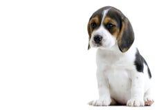 Perrito del beagle Fotos de archivo