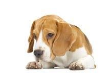 Perrito del beagle aislado en el fondo blanco imágenes de archivo libres de regalías