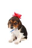 Perrito del beagle con un arqueamiento en su cabeza Imagen de archivo