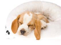 Perrito del beagle el dormir en la cama blanca de la piel Fotografía de archivo