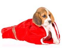 Perrito del beagle en bolso rojo del regalo de la Navidad Fotos de archivo