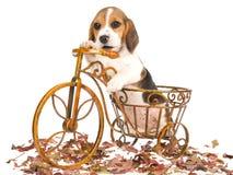 Perrito del beagle en mini bicicleta marrón Foto de archivo libre de regalías