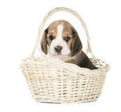 Perrito del beagle en una cesta imagen de archivo