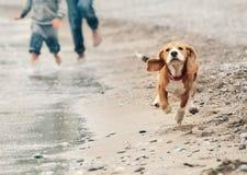 Perrito del beagle que corre en la playa del mar Imagenes de archivo