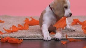 Perrito del beagle que juega con el papel aislado en el fondo rosado, animal doméstico precioso de la familia metrajes