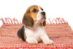 Perrito del beagle que se acuesta en la manta tejida roja Imagen de archivo