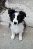 Perrito del border collie Foto de archivo libre de regalías