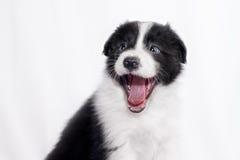 Perrito del border collie Fotografía de archivo libre de regalías