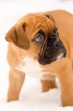 Perrito del boxeador Imagen de archivo libre de regalías