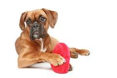 Perrito del boxeador con el corazón rojo en un fondo blanco Imagen de archivo libre de regalías