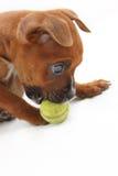 Perrito del boxeador de Brown que juega con una bola verde Fotografía de archivo