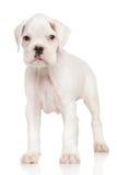 Perrito del boxeador en blanco Foto de archivo