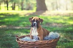 Perrito del boxeador en el parque imagen de archivo libre de regalías