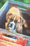 Perrito del boxeador en el parque fotos de archivo libres de regalías