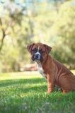 Perrito del boxeador en el parque foto de archivo