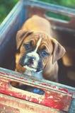 Perrito del boxeador en el parque imagen de archivo