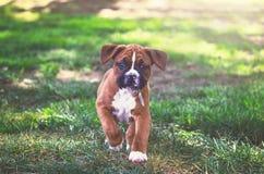Perrito del boxeador en el parque fotografía de archivo libre de regalías
