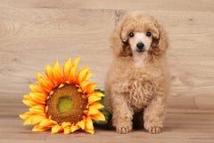Perrito del caniche con el girasol Fotografía de archivo libre de regalías