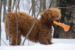 Perrito del caniche en el bosque nevoso fotos de archivo