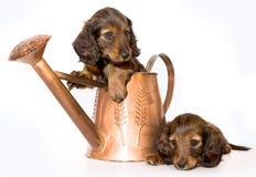 Perrito del Dachshund foto de archivo libre de regalías