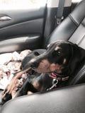 Perrito del Doberman en el asiento de carro Fotografía de archivo libre de regalías