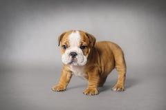 Perrito del dogo Imagen de archivo libre de regalías