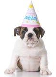 Perrito del dogo del cumpleaños imagen de archivo