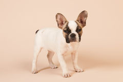 Perrito del dogo francés Fotografía de archivo