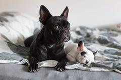 Perrito del dogo francés Imagenes de archivo
