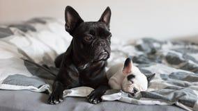 Perrito del dogo francés Imagen de archivo
