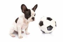 Perrito del dogo francés con el balón de fútbol Imagenes de archivo
