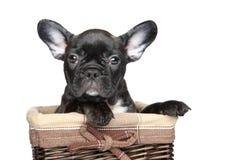 Perrito del dogo francés en cesta sobre el fondo blanco imagenes de archivo