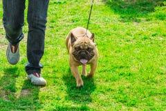 Perrito del dogo francés en un paseo de la hierba verde fotos de archivo libres de regalías