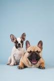 Perrito del dogo francés y perro del adulto Fotos de archivo libres de regalías