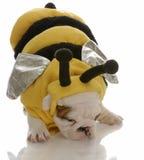 Perrito del dogo vestido como abeja Imagen de archivo