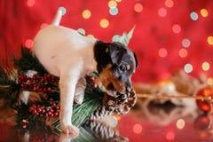 Perrito del fox terrier del juguete de la raza del perro Fotografía de archivo libre de regalías