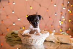 Perrito del fox terrier del juguete de la raza del perro Fotos de archivo libres de regalías
