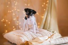 Perrito del fox terrier del juguete de la raza del perro Imágenes de archivo libres de regalías