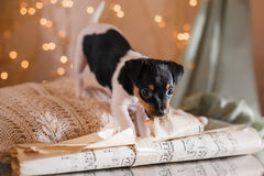 Perrito del fox terrier del juguete de la raza del perro Fotos de archivo