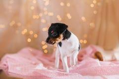 Perrito del fox terrier del juguete de la raza del perro Imagenes de archivo