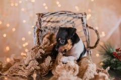Perrito del fox terrier del juguete de la raza del perro Imagen de archivo